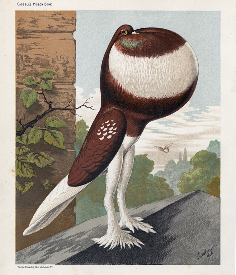 Antique print from painting by Ludlow, male Red Pouter pigeon,