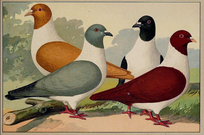 Old German chromolithograph from Schachtzabel's book. K. McCloskey collection